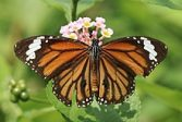 Indian Monarch Butterflies