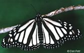 White Monarch Butterflies