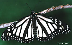 White Monarch Butterfly
