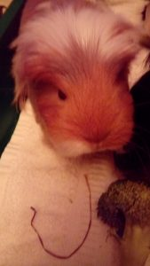 Adopting Rescued Guinea Pigs