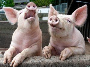 Pig Communicate