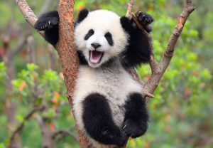 International Panda Day