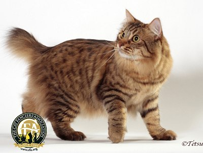 American Bobtail Spotted Tabby Pattern