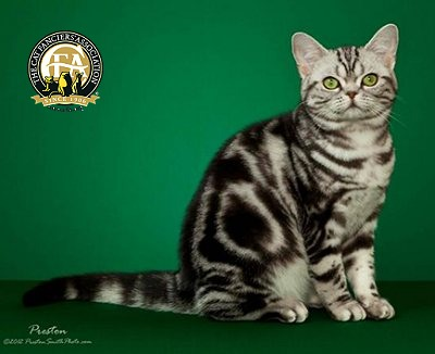 American Shorthair Classic Tabby Pattern